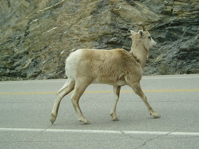 Mountain goats in Banff National Park ...