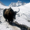 "Yak, irreplaceable Himalayan ""porter"" – Nongpa La (18,835ft/5.741m) pass to Nepal behind"