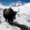 "Yak, irreplaceable Himalayan ""porter"" – Nongpa La (18,835ft/5.741m) pass to Nepal behind"
