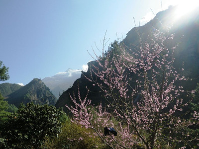 One more blooming tree in Solu Khumbu Valley.