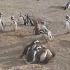 Magdalena Island Penguins-2