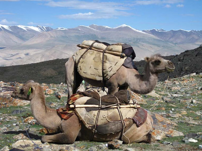 The Bactrian camel is a large, even-toed ungulate native to the steppes of Central Asia.  Of the two species of camel, it is by far the rarer.  The Bactrian camel has two humps on its back, in contrast to the single-humped dromedary camel. Their name comes from the ancient historical region of Bactria.