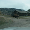 Hungry buffalo after winter, is looking for food around houses