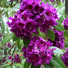 Lithia Park - flowers 3