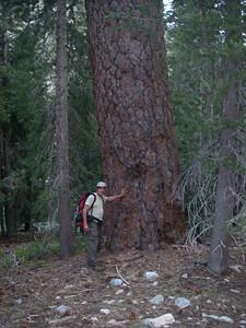 Huge red woods