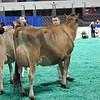 NAILE-JrJersey-CowsDSCN8561