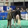 NAILE15-Jr-HolsteinsDSCN9147