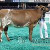 NAILE15-Open-MilkingShorthornDSCN8342