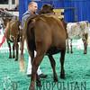 NAILE15-Open-MilkingShorthornDSCN8344