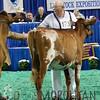 NAILE15-Open-MilkingShorthornDSCN8345