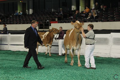 Natl Guernsey Intermediate Cow Show 2016