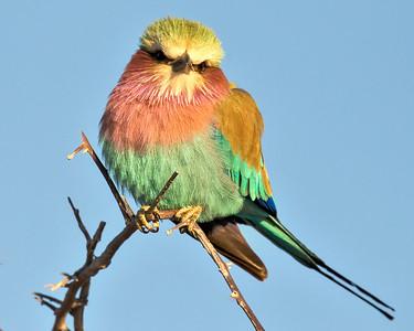 BIRDS of ETOSHA