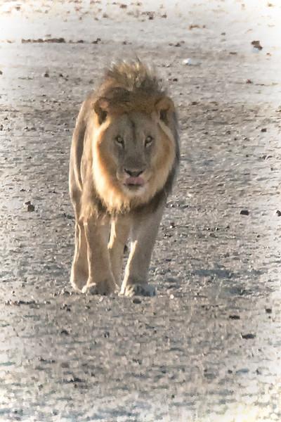 LIONS of ETOSHA