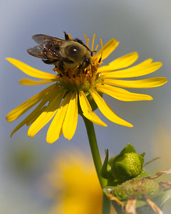 Bumblebee at Prairie Ridge Conservation Area