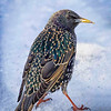 Colorful Starling in Winter Plumage