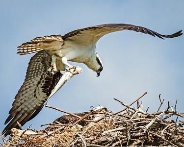 Osprey Pair Caring for Young in Nest