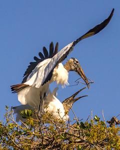 Wood Storks Mating