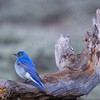 Mountain Bluebird in Yellowstone