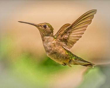 Ruby-throated Hummingbird in in Flight