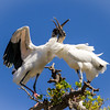 Wood Storks Clacking in Mating Ritual