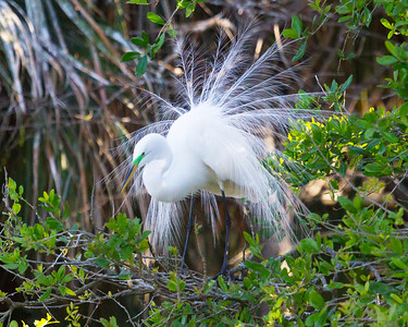 Great White Egret in Mating Plumage at Rookery in Florida