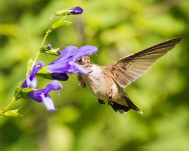 Ruby-throated Hummingbird in Illinois