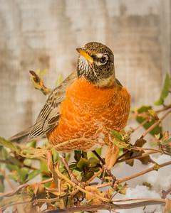 Robin Heralding Spring