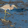 RARE!!!!!!  Tricolored Heron - never in California!