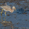 RARE!!!!!!  Tricolored Heron - never in California!  And he dropped his fish!