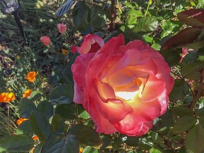 Iridescent Rose