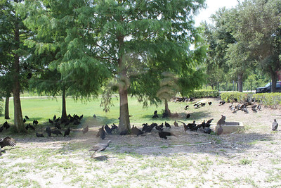 The creepy and odd gathering of turkey vultures behind the Apollo/Saturn V Center. It looked like a Hitchcock movie out there.