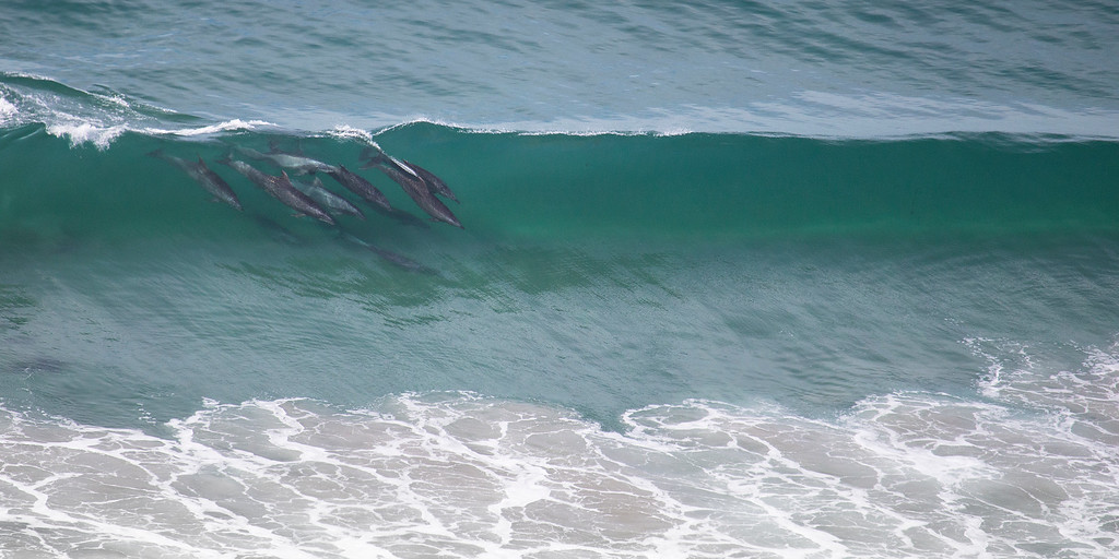Dolphins at Black's Beach