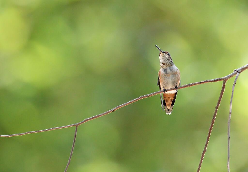 Hummingbird Perch