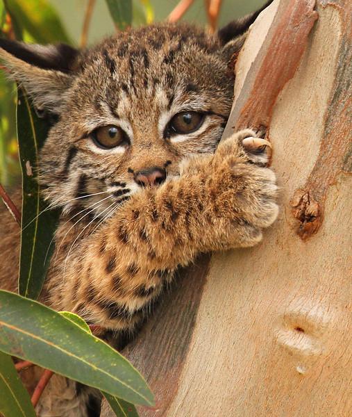 Baby Bobcat, Rancho Santa Fe
