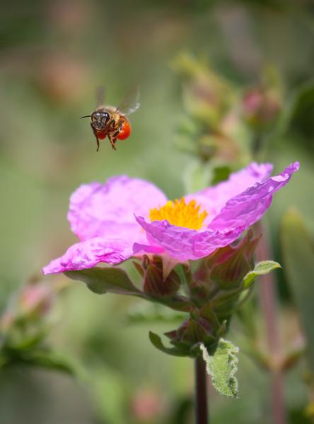Loaded bee