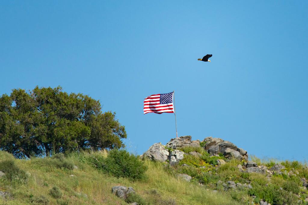 Bald Eagle at Fletcher's Point