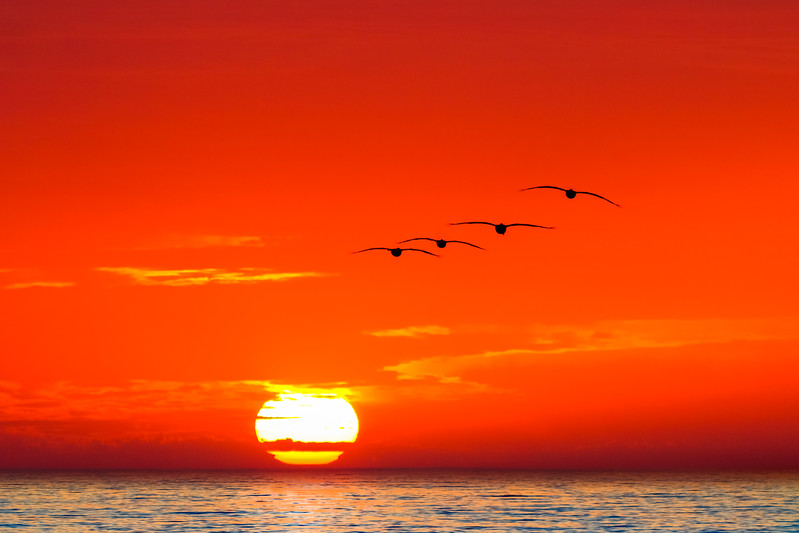Pelicans and sunset