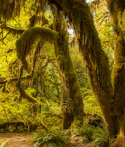 HANGING MOSS, HOH RAIN FOREST