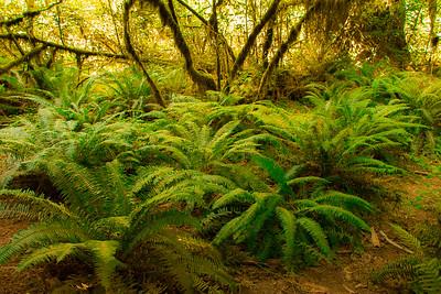 FERNS, HOH RAIN FOREST