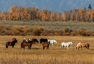 Horses near Teton Mountains.