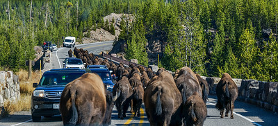 Bison herd taking over the road.