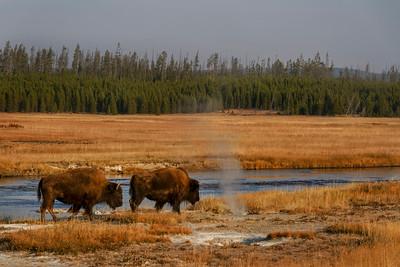Bison walk near steam vents