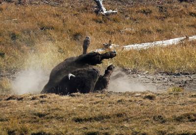 Dust baths are favorite Bison pastimes.