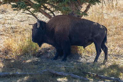 Large male Bison scratching his back on tree.