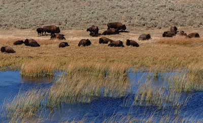 Small Bison herd resting during the day