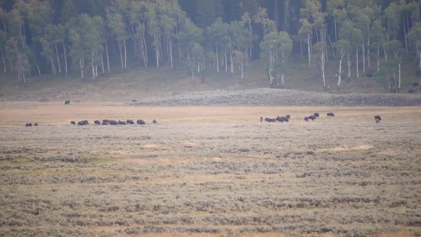 LAMAR VALLEY WOLVES WORK BEHIND BUFFALO HERD