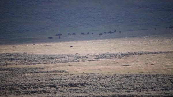 WOLVES WATCHING PRONGHORN