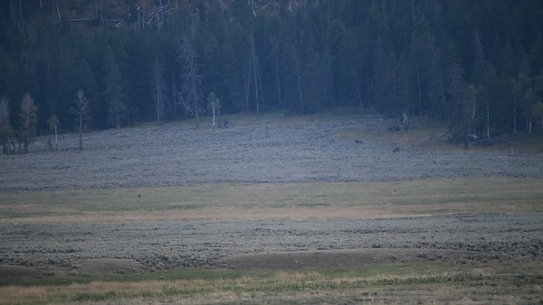 WOLF PACK TOGETHER IN LAMAR VALLEY