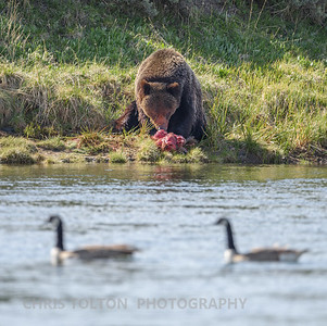 GRIZZZLY AND CANADIAN GEESE ON YELLOWSTONE RIVER