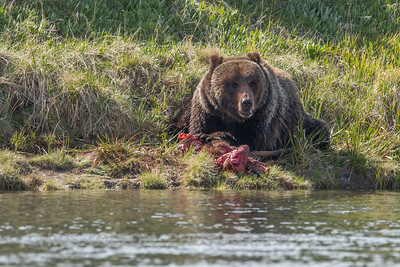 GRIZZLY BEAR WITH BISON KILL ON YELLOWSTONE RIVER